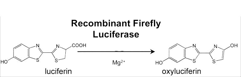 люцефирин